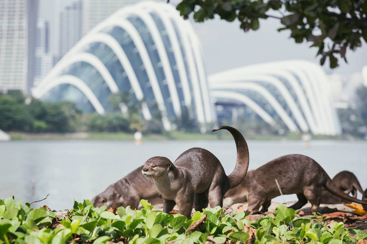 What's With the Absurd Singaporean Obsession With Otters?