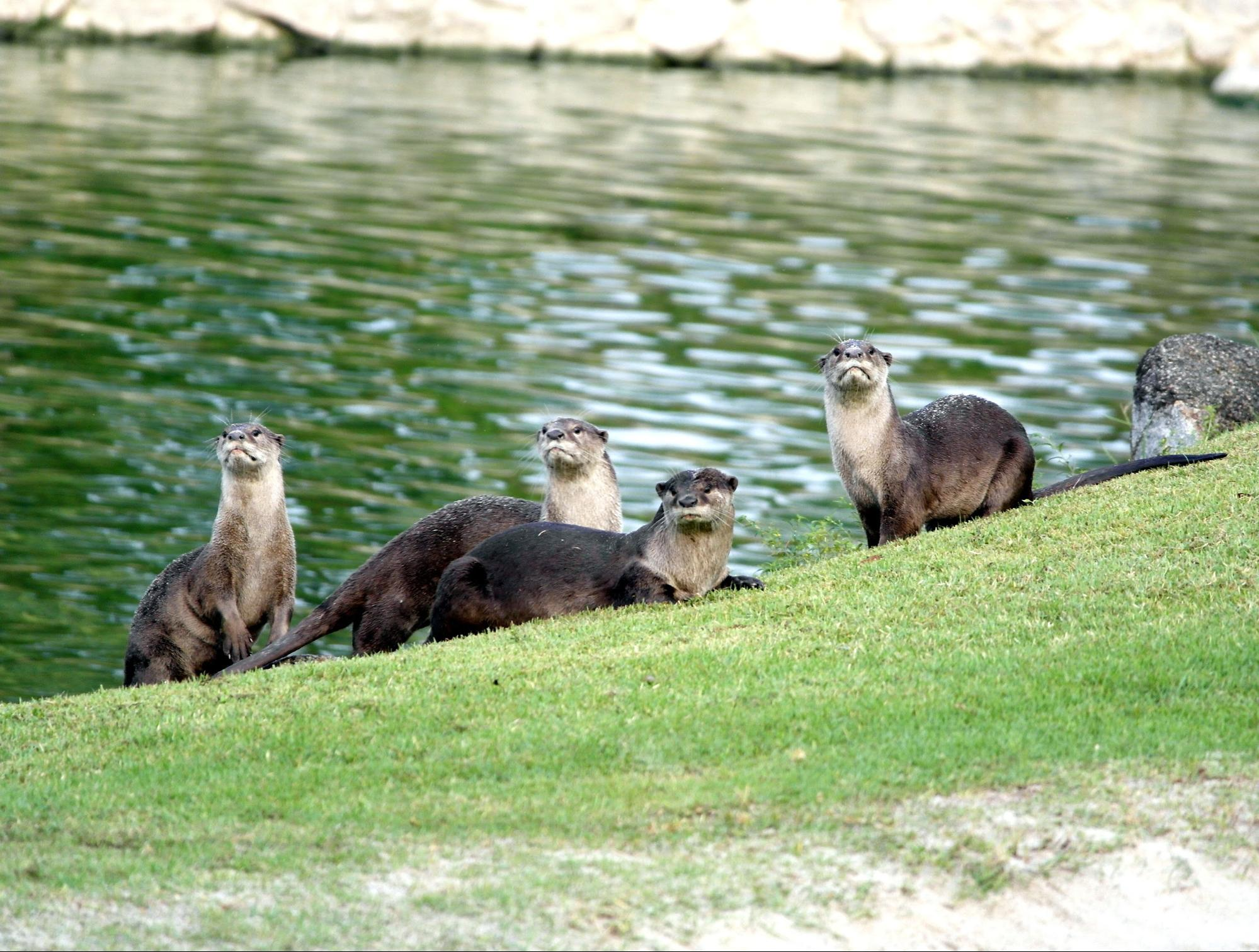 Singapore's Love for Otters Reveals Its Double-Standards towards Wildlife in the City